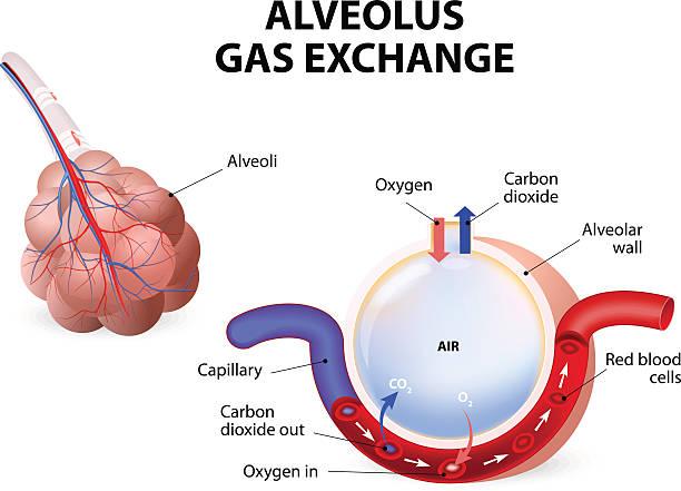 gases exchange